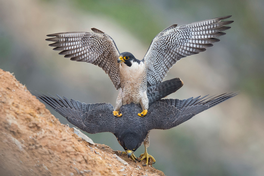 Peregrine Falcons doing it Glenn Conlan.jpg